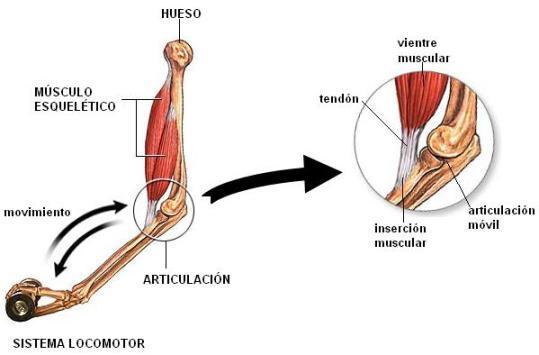 dolor en articulaciones huesos músculos