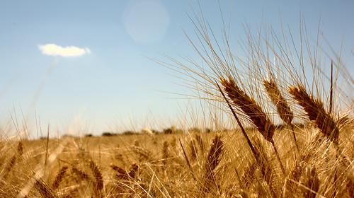 El papel del trigo en nuestra alimentación
